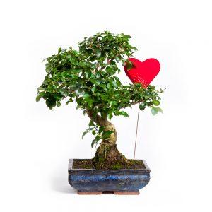 bonsai6anos