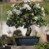 Macieira Bonsai