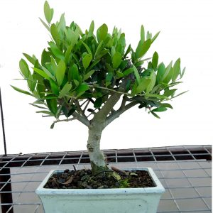 Oliverira Bonsai 9 anos
