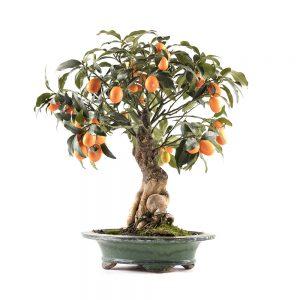 bonsai laranjeira