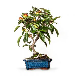 bonsai macieira