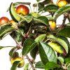 maçãs_bonsai macieira