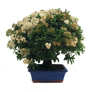 pyracanta bonsais