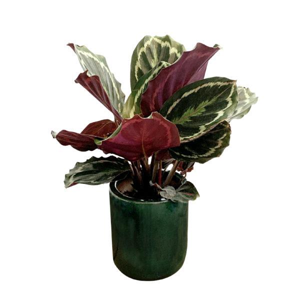Calathea em Vaso de Cerâmica