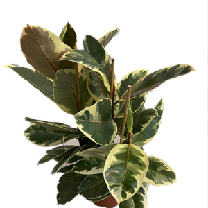 Ficus Elástica Tineke