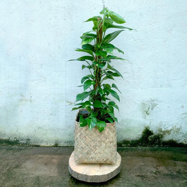 Vaso CUBO KOBE, Bohemian Collection, Bamboo + Scindapsus com tutor