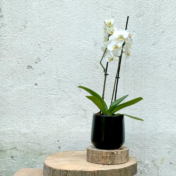 Plantas Pet Friendly - Orquídea