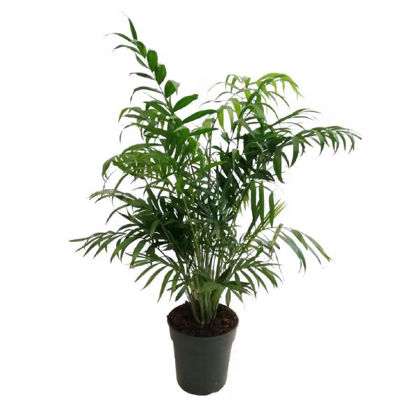Plantas Pet Friendly - Chamaedorea