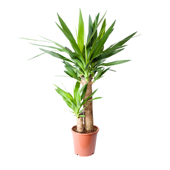 Plantas Pet Friendly - Yucca elephantipes