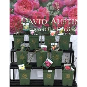 Roseira David Austin