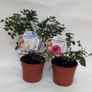 Rosa Comestivel