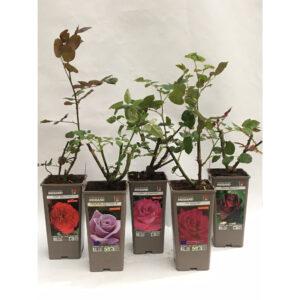 Roseira Meilland Vaso 2L
