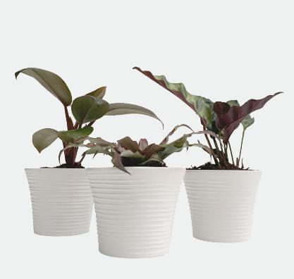 Trio de plantas baby