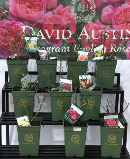 Roseiras David Austin
