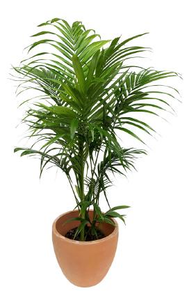 Palmeira Real em vaso de terracota