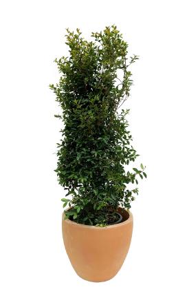 Eugénia em vaso de terracota